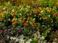 Урожайность ягодников в заповеднике вновь подсчитана