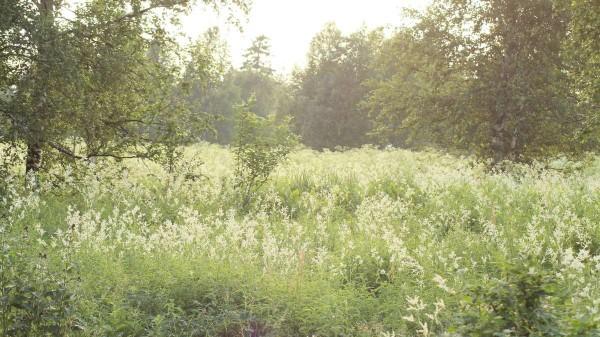 Массовое цветение горца альпийского.  Фото Н.Зенковой