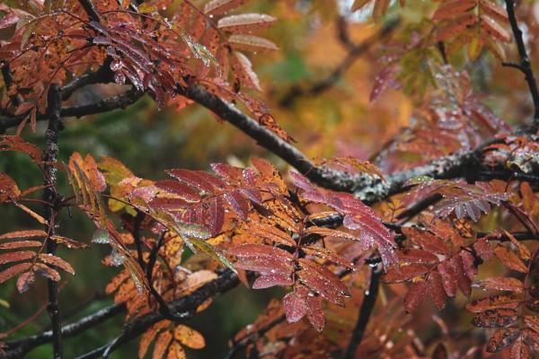 Осенние листья рябины. Автор Лев Арамилев