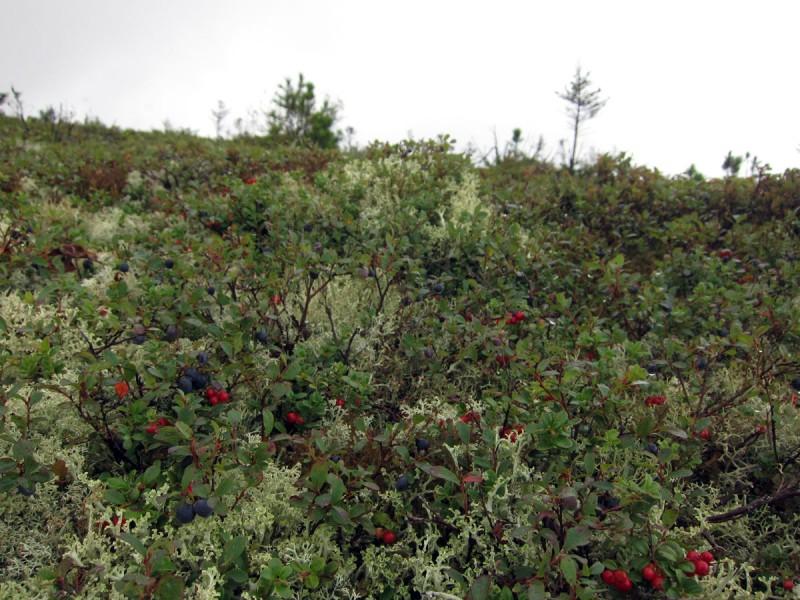 Кустарнички в горной тундре